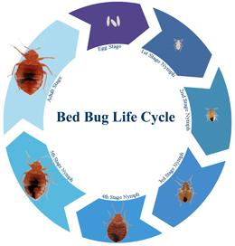 Le cycle de vie d'une punaise de lit: de l'oeuf à l'adulte