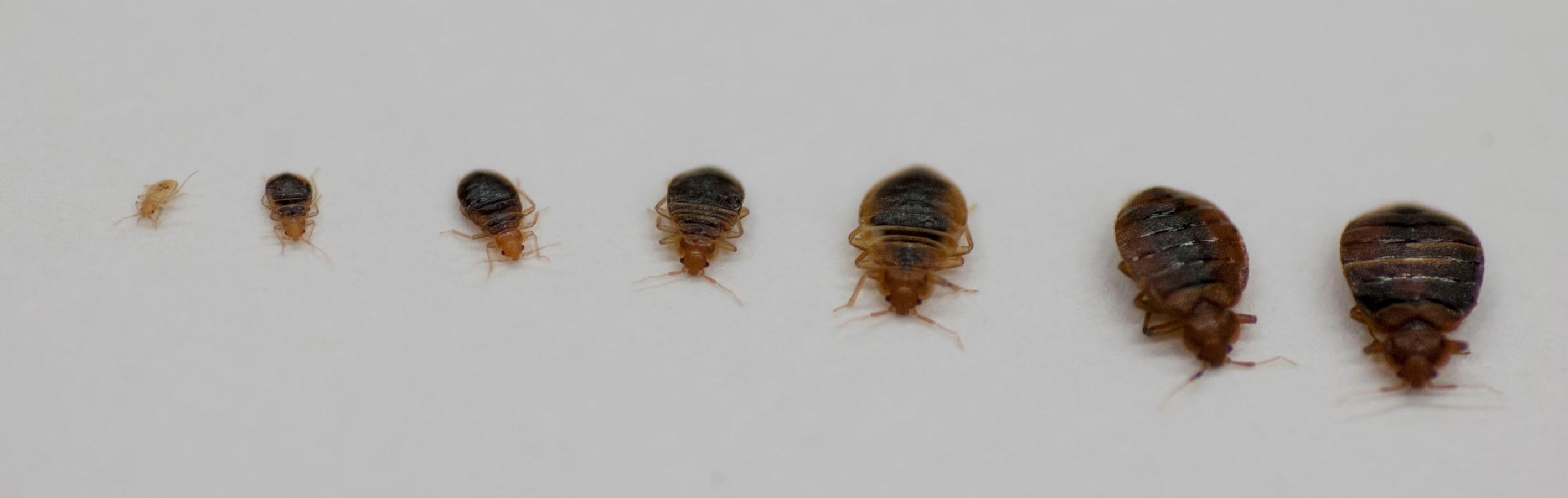 punaises de lit nymphes adultes