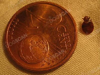 Punaise comparée à une pièce de 2 cents