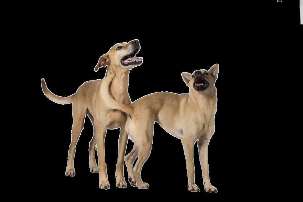 chiens détecteurs de punaises de lit
