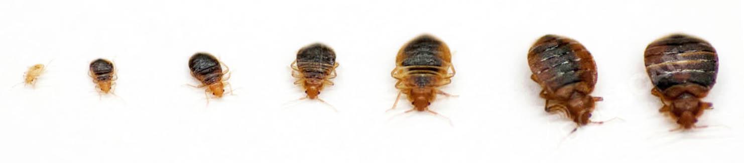 punaise-larve-adulte